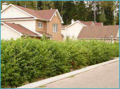 Живая изгородь на даче 7