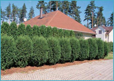 Живая изгородь на даче 5